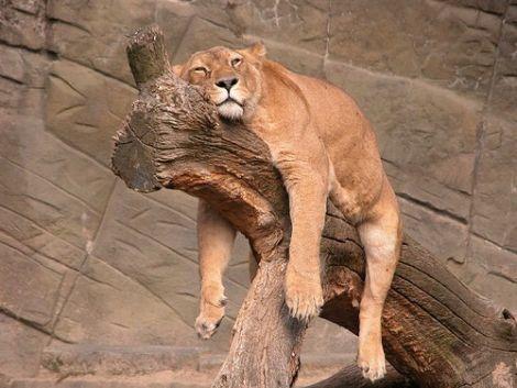 Images légendées - Page 4 Images-tigre-fatigue-big