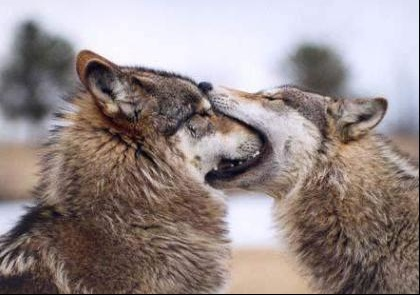 wolf9jy