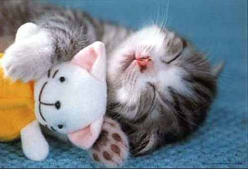 chat-doudou-humour-animal
