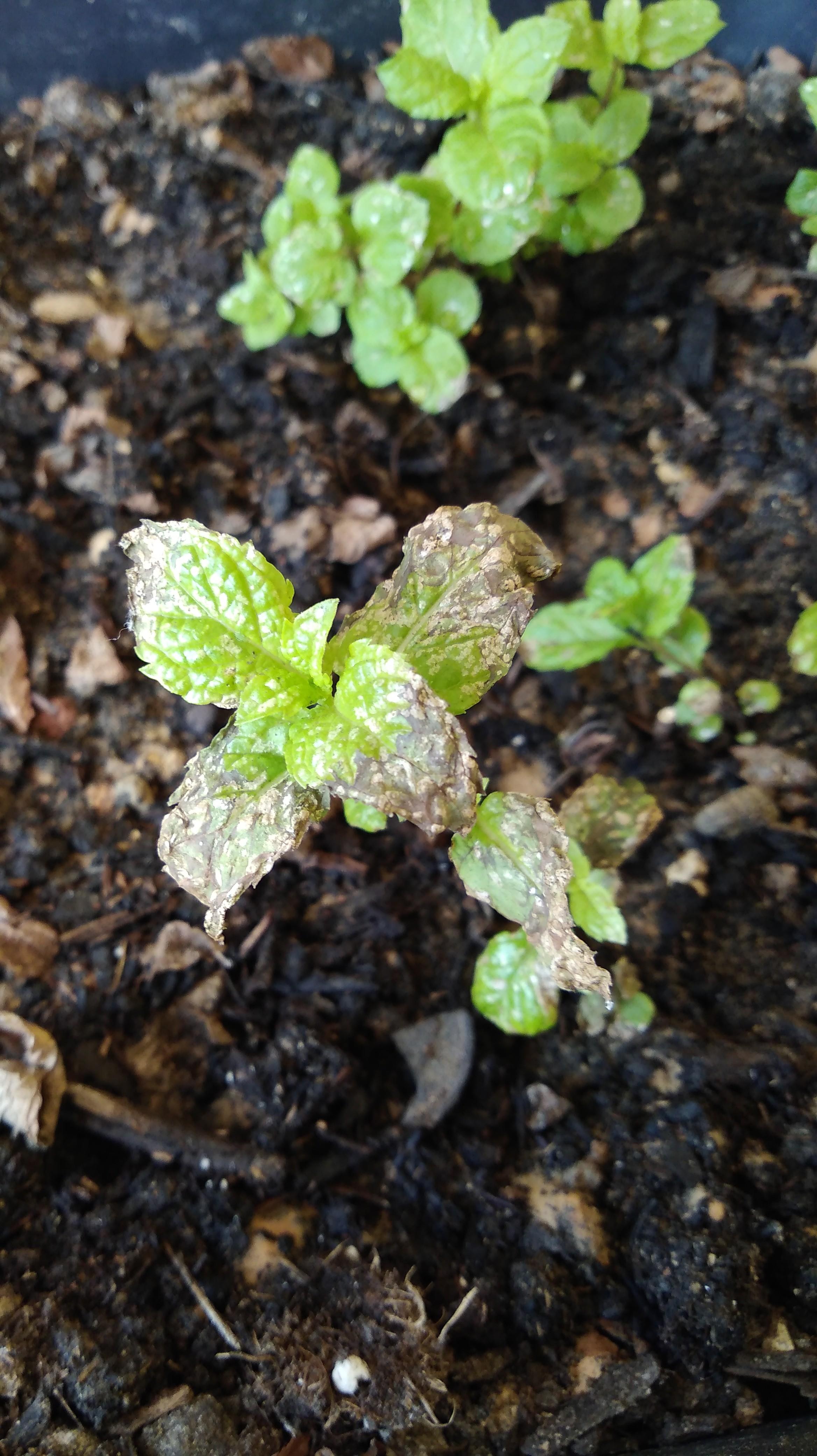 Planter Menthe En Pot menthe qui noircie - jardinage - forum vie pratique
