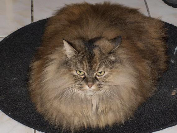 mon chat est mort les causes la sant de votre chat chats forum animaux. Black Bedroom Furniture Sets. Home Design Ideas