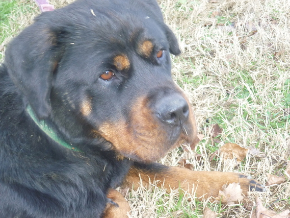 Chien Croise Rottweiler Beauceron Adopter 62723 Autre Thegiantbob Photos Club Doctissimo