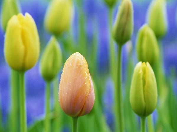 Fond Ecran Fleurs De Printemps Tulipes Frog Photos Club Doctissimo