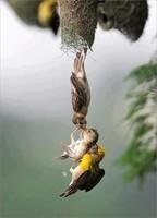 Maman  et papa rattrapant leur petit tombé du nid