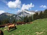 J'adore la montagne avec ces belles vaches