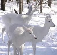 cerfs blancs très rares