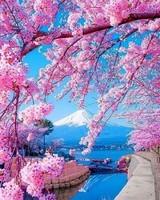 Mont Fuji au Japon  et cerisiers en fleurs