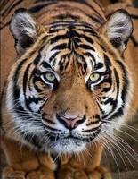 J'adore les tigres