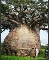 Le plus vieux baobab du monde