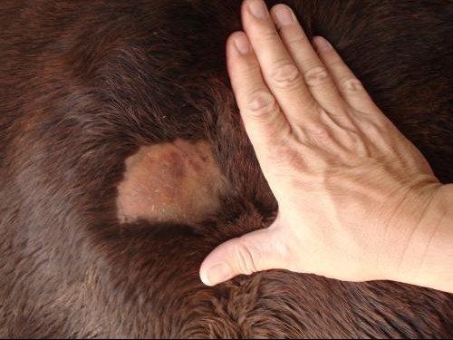 Perte de poils par plaque toilettage du cheval chevaux forum animaux - Aspirateur poil de chien ...