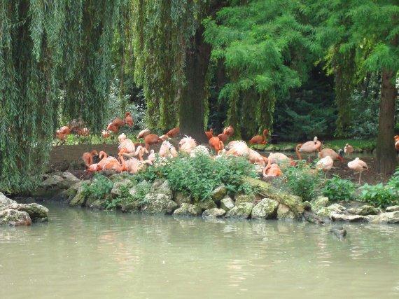 Flamants roses