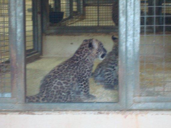 Bébés Jaguar