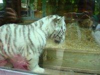 Bébé tigre blanc 1