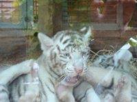 Bébé tigre blanc 2