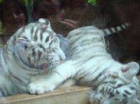 Bébés tigres blancs