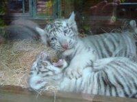 Bébés tigres blancs 1