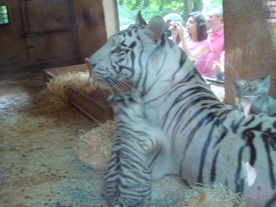 Tigresse blanche et ses petits