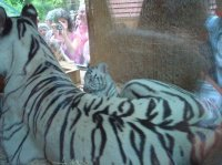 Tigresse blanche et ses petits 1
