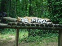 Jaguar mâle