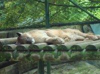 Femelle Puma