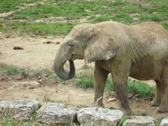 éléphante 1