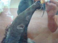 Bébé fourmilier 1
