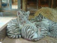 Bébés tigres blancs 2