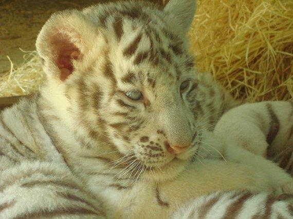 Bébé tigre blanc 7