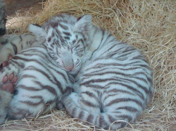 Bébé tigre blanc 8