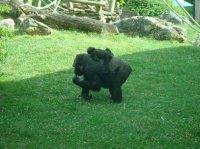 Gorille femelle et son bébé