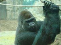 Gorille 3