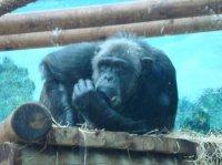 Chimpanzé suçant son pouce