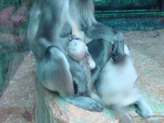Bébé singe têtant sa mère