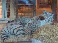 Bébés tigres blancs têtant leur mère