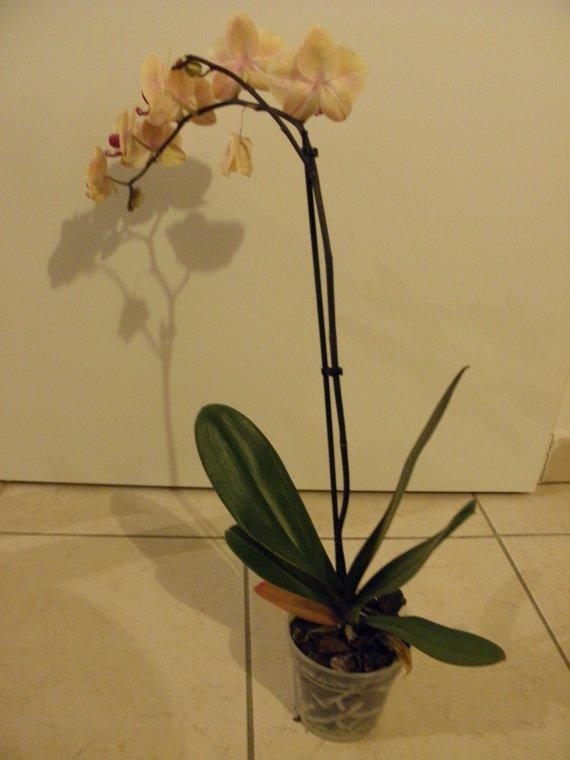 orchidee perd ses fleurs
