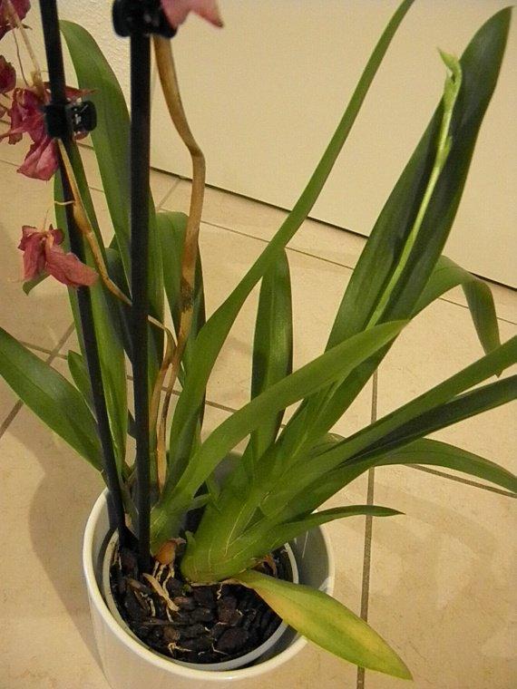 probl mes avec orchid es phalaenopsis et cambria jardinage forum vie pratique. Black Bedroom Furniture Sets. Home Design Ideas