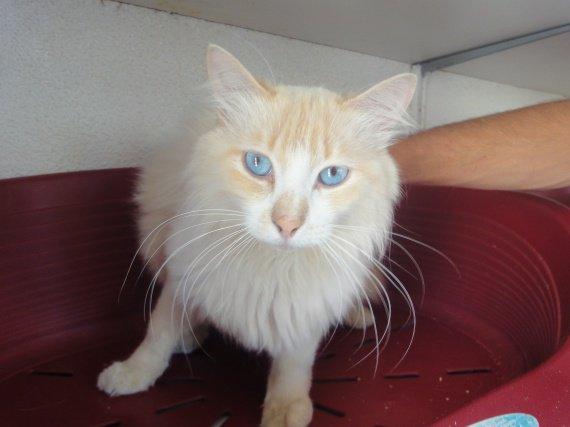 Himiblou chat castré de 2 ans