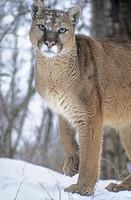 mountain-lion-or-puma--montana-sharp