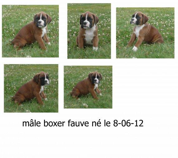 07-23 mâle boxer fauve(Flanel) (1)
