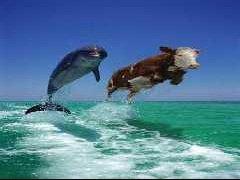 vache-dauphin-t