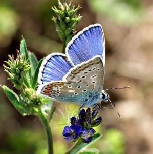 petits-gifs-papillons-papillon-bleu-img
