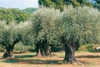 72 oliviers