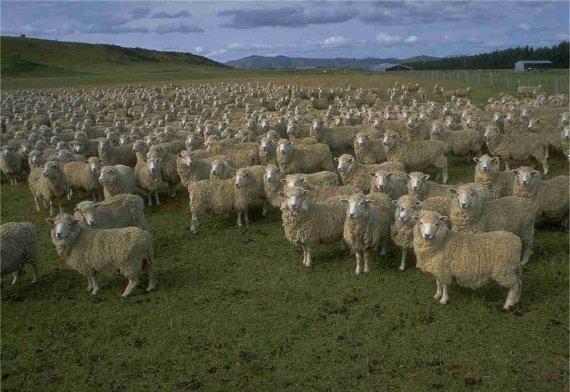 un-troupeau-de-moutons-10349954ogqke
