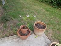 Ocimum spires white + thym citron
