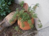 Artemisia abrotanum 'Maritima'