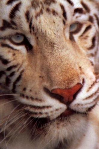Tigre426