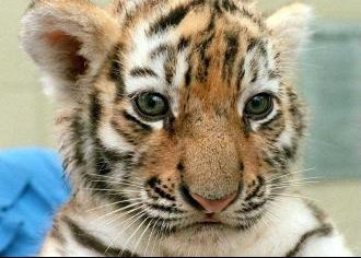 Tigre533