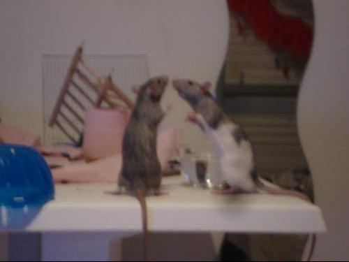 les rats 009