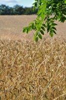 Champ de blé en Charente.