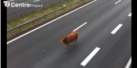 vache sur A20
